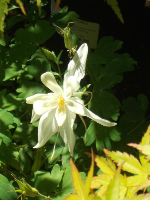 White columbine flower seeds aguilegia seeds shade garden etsy image 0 mightylinksfo