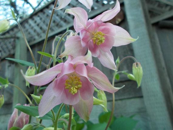 Columbine Seeds Pink Columbine Flower Perennial Flower Etsy