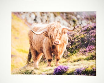 Highland Cow in Heather Mounted Print