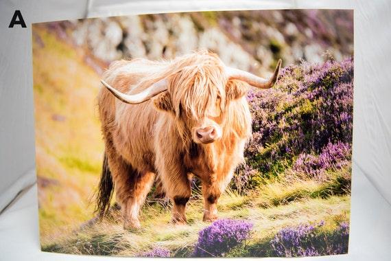 Highland Cow Highland Cow Print Scottish Highland Cow Highland Cow Photography Edinburgh Print Scottish Print 16 X 12 Gloss Print