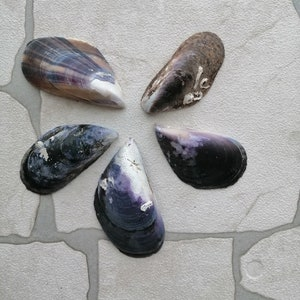 shapes,/& colors.Use in mosaic.Mobiles.crafts. 10x Nesting Mussel Shells~ Beautiful Beach collected Mussel shells in an Assortment of sizes