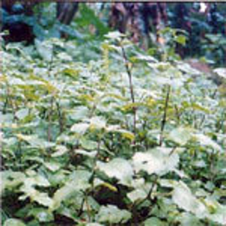 Indonesian Patchouli image 0