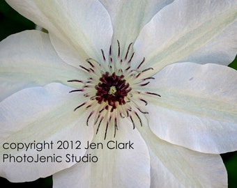 Clematis Fine Art Photograph - Sensual Flower Series