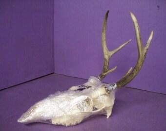 Real animal 6 point buck deer skull antler horn spike white tail skeleton taxidermy bone part