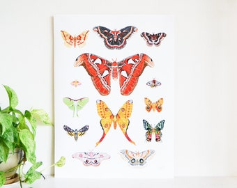 """Moth Species Poster 18""""x24"""", Life Size Moths, Made from an Original painting, Atlas, Lunar, Rosy Maple, Comet, Promethea, Sunet, Imperial"""