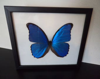 Real Butterfly Blue Morpho Giant (Morpho Didius) Framed Display Butterfly  Taxidermy Lepidoptera Entomology Zoology