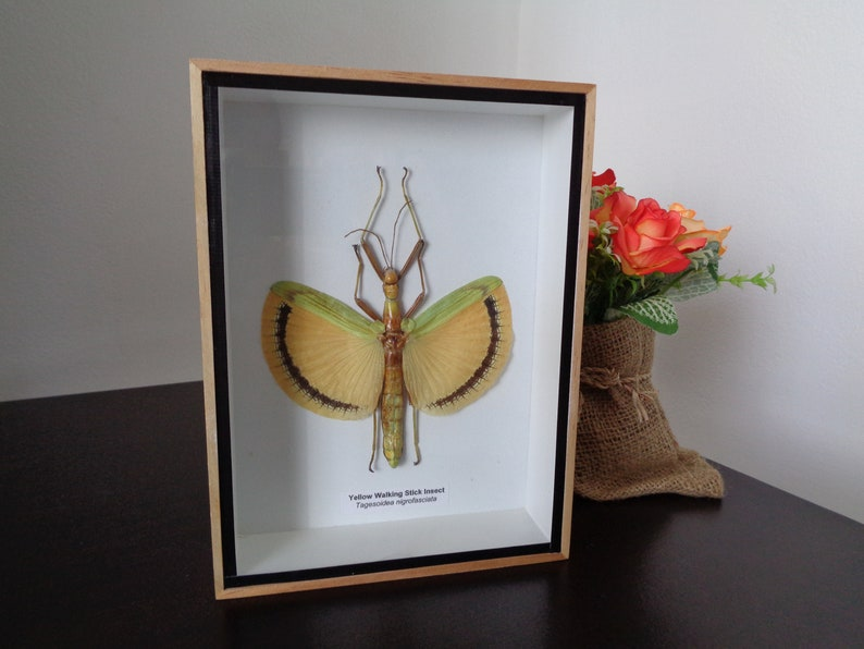 Taxidermy Real Giant Walking Leaf insect Boxed Display Zoology Entomology Bugs