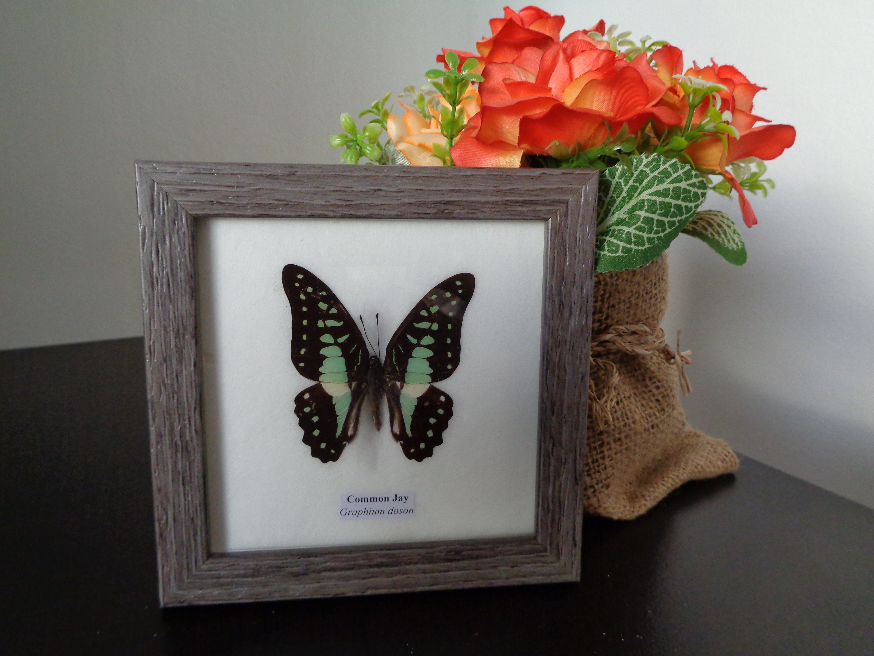 Lepidoptera Real Butterfly Spot Swordtail Framed Wall Display Taxidermy