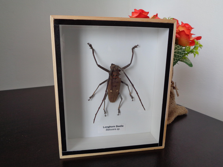 Taxidermy Real Beetle Dorysthenes Walkeri Boxed Display Entomology Home Decor
