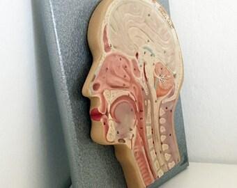 1930s German Head Cross-Section Anatomical Model / Vintage Medical Teaching Model