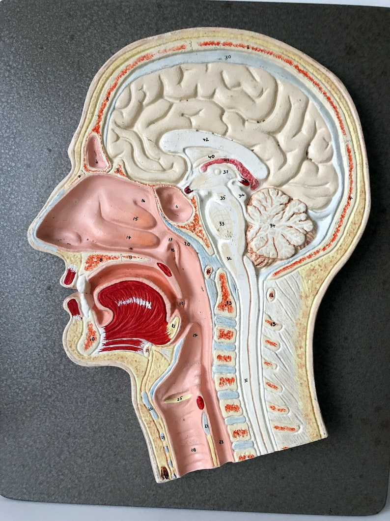 German Head Cross Section Anatomical Model Teaching Model Etsy