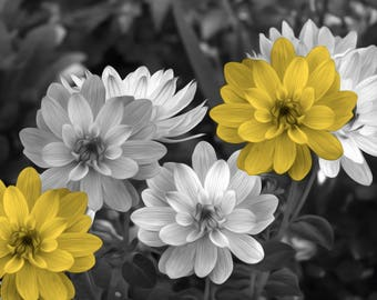 Black White Yellow Wall Decor, Yellow Flowers, Pop Of Color, Yellow Gray Home Decor Matted Picture
