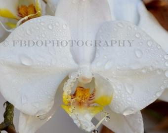 108 - Wet White Single Phalaenopsis Orchid