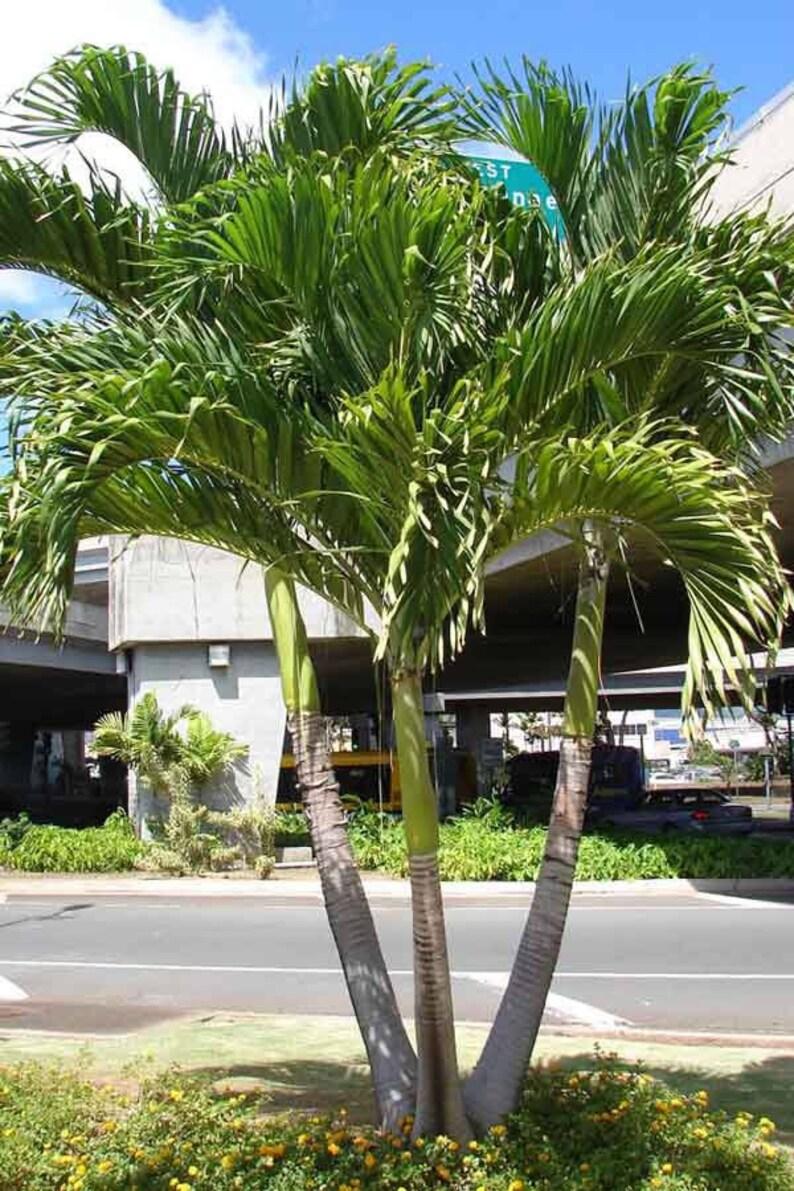 Triple Christmas Palms Live Plant Adonidia Merrillii Etsy