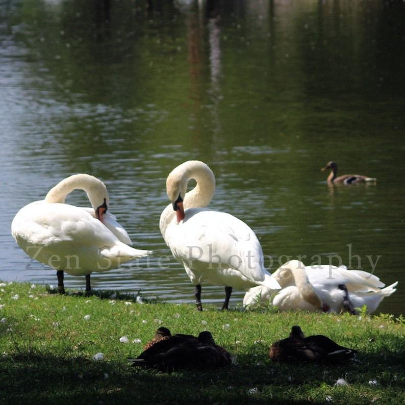 Trio of Swans Photograph. Wildlife Photo Wall Art. Bird Wall image 0