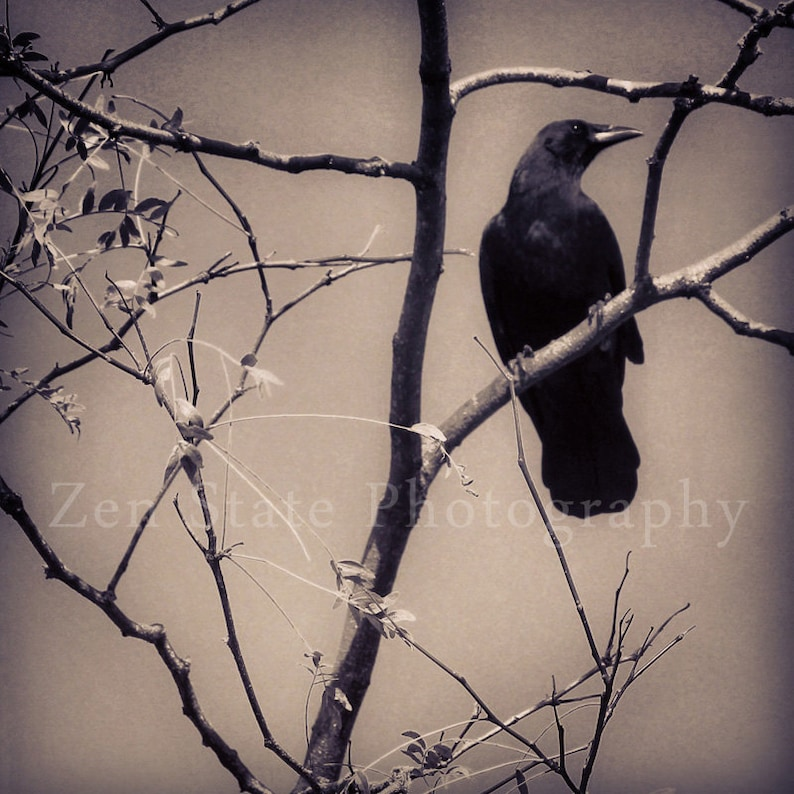 Raven Photography Black Bird Photo Print Gothic Wall Decor image 0