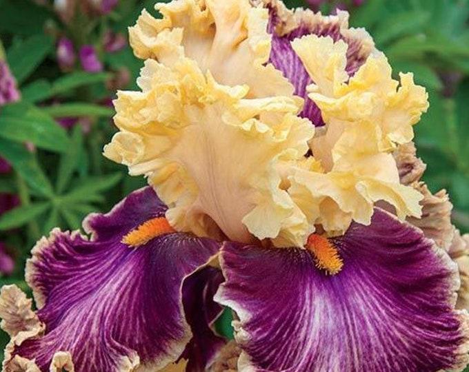 Decadence Live Iris Plant 4 inch Pot Apricot Burgundy Flowers Non-GMO Grown Organic