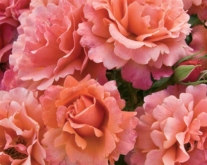Easy Does It Rose Plant Potted Fragrant Floribunda Pink Apricot Flowers - Own Root Easy To Grow! SPRING SHIPPING
