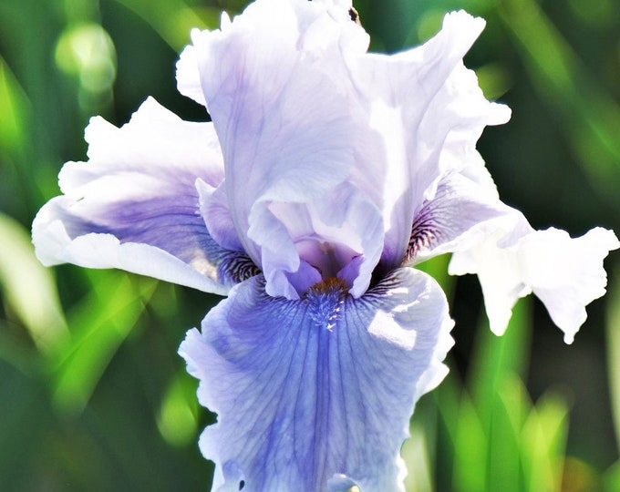 Rio Vista Live Iris Plant 4 Inch Pot Reblooming German Bearded Variety Lavender and White Flowers Grown Organic - Shipping Now