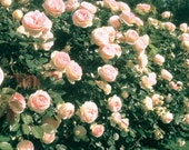 Eden Climbing Rose Plant Potted 40 Petals Pink Fragrant Flowers Own Root STARTS SHIPPING in April