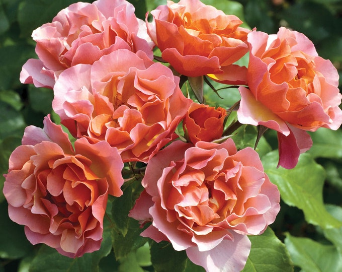 Tequila Supreme ™ Rose Plant Vibrant Orange Flowers With Scalloped Edges! Grown Organic Heat Resistant Potted - Own Root