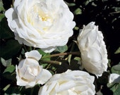 Cloud 10 Climbing Rose Plant Potted Large White Flowers Own Root Easy To Grow Climber STARTS SHIPPING in April