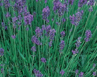 Lavender Munstead Plant English Lavender  Grown Organic 4 Inch Container - Non-GMO