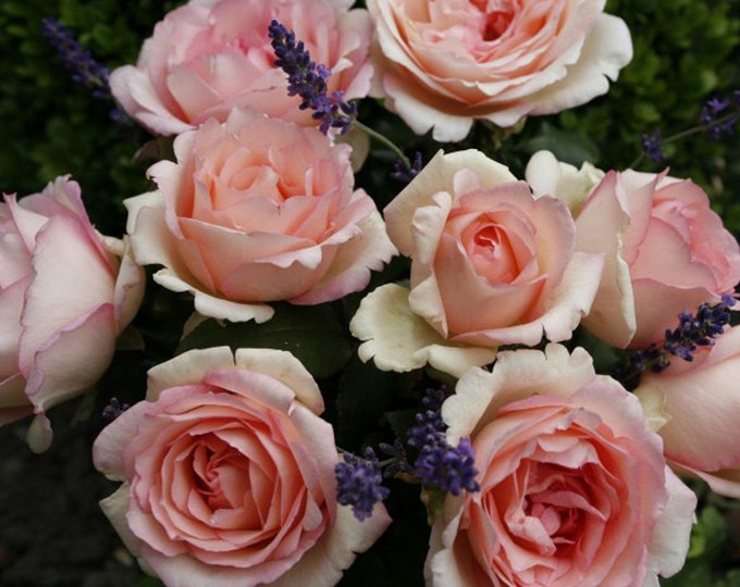 Pink Enchantment Live Rose Plant - Very Fragrant Pink Flowers Own Root Shipped Potted Non-GMO