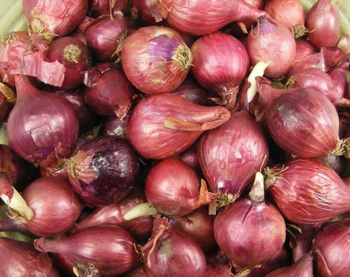 Red Onion Sets Organic | Red Baron Onion Bulbs 32 Pounds Bulk Non-GMO Shipping Now