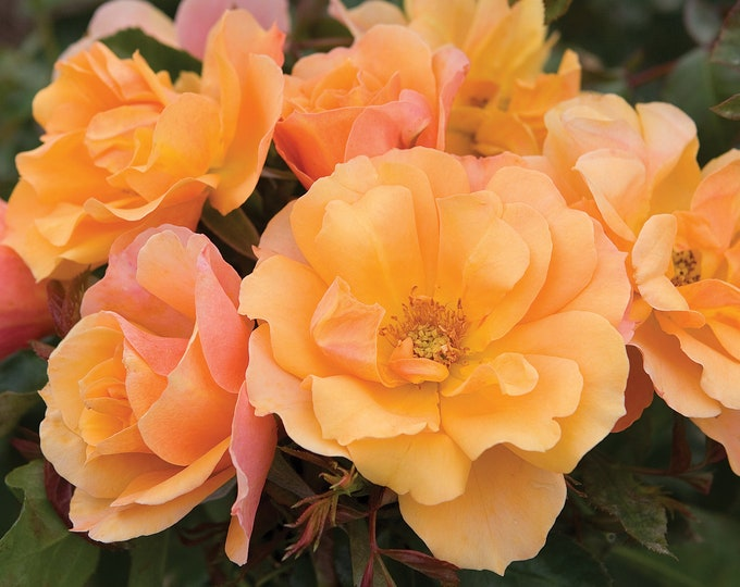Tequila Rose Plant Potted  -Apricot Flowers All Summer Long - Easy To Grow Own Root SPRING SHIPPING