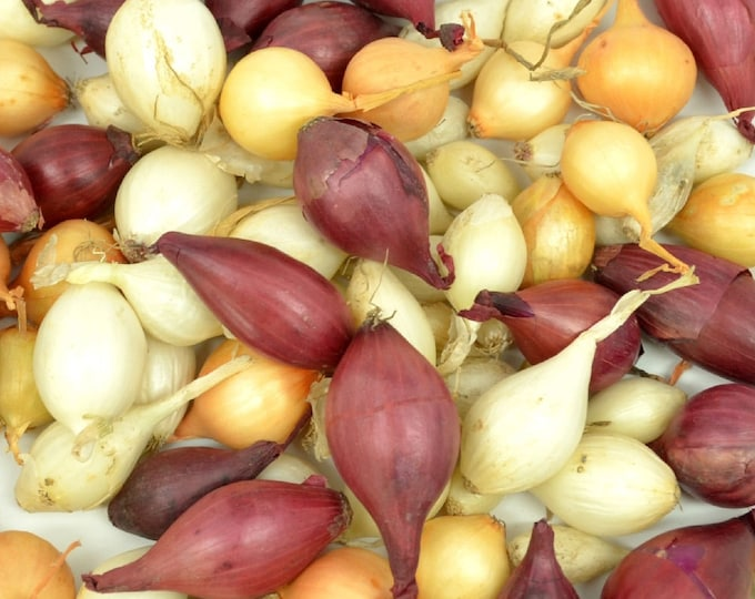 Mixed Red White and Yellow Onion Sets Organic Non-GMO | Onion Bulbs  4 Pounds Shipping Now