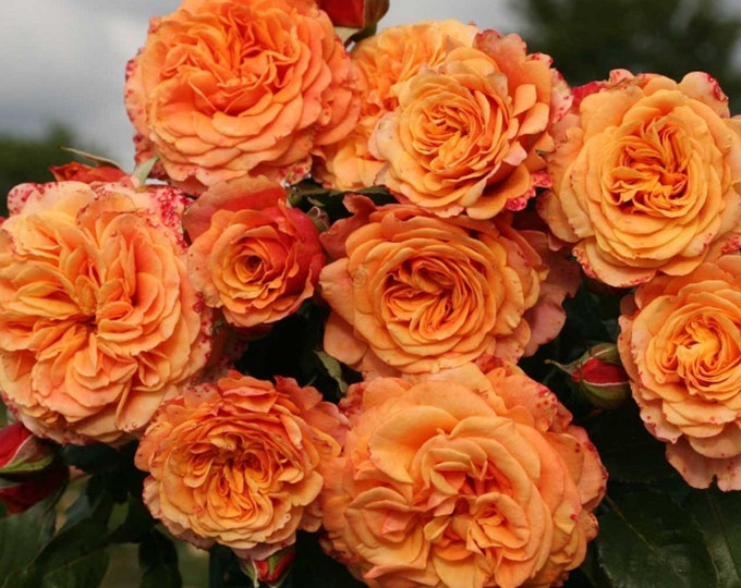 Crazy Love Rose Plant Potted |  Sunbelt ® Shrub Bush Heat Loving Repeat Blooming Fragrant Apricot Orange Flowers - Own Root SPRING SHIPPING