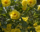 Smiley Face Climbing Rose Plant Potted Fragrant Climber Sunny Yellow Flowers Own Root STARTS SHIPPING in April