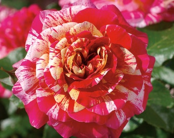 All American Magic Rose Plant Potted - Fragrant Striped Yellow, Red and Cream Flowers - Own Root  SPRING SHIPPING
