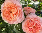 Colette Climbing Rose Plant Potted Strong Fragrance Peach Pink Flowers Own Root Climber STARTS SHIPPING in April