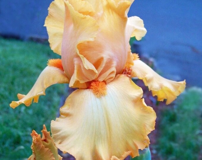 Disco Music Iris Plant 4 Inch Pot | Bearded German Iris Tangerine Orange Flowers Non-GMO Grown Organic - Shipping Now