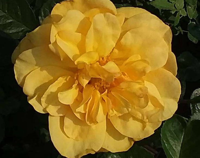 Tupelo Honey Rose Plant Sunbelt ® Shrub Rose Reblooming Fragrant Yellow Flowers - Own Root Potted - Non-GMO - Heat Loving Rose!