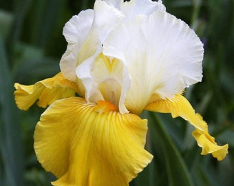 Alpine Journey Iris Plant 4 Inch Pot |  Yellow and White Flowers Non-GMO Grown Organic - Shipping Now
