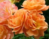 Westerland Climbing Rose Plant Potted Fragrant Apricot Flowers Vigorous Grower - Own Root STARTS SHIPPING in April