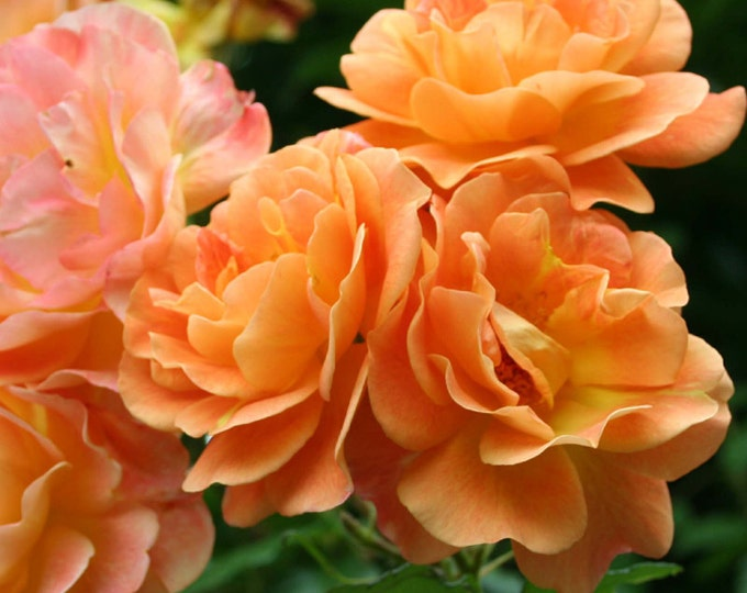 Westerland Climbing Rose Plant Potted Fragrant Apricot Flowers - Own Root SPRING SHIPPING