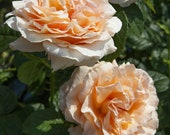 Polka Climbing Rose Plant Potted 35 Petals Apricot Fragrant Flowers - Easy To Grow Own Root STARTS SHIPPING in April