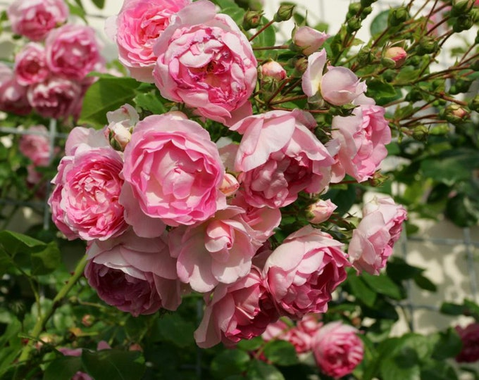 Jasmina Climbing Rose Plant Potted | Arborose ® Series Fragrant Pink Flowers Own Root SPRING SHIPPING
