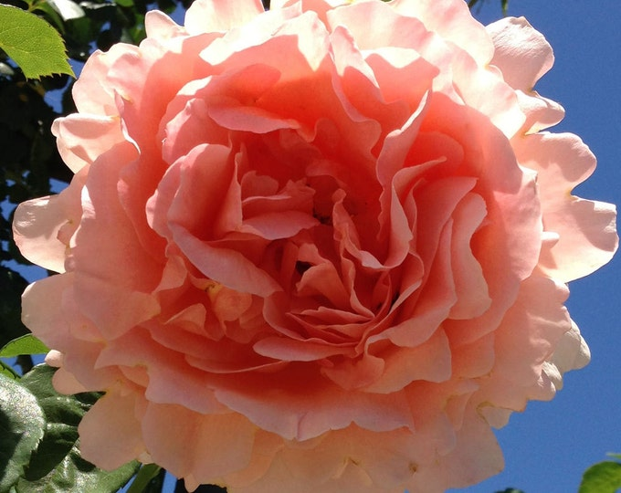 Polka Climbing Rose Plant Potted   35+ Petals Apricot Fragrant Flowers - Easy To Grow Own Root - SPRING SHIPPING