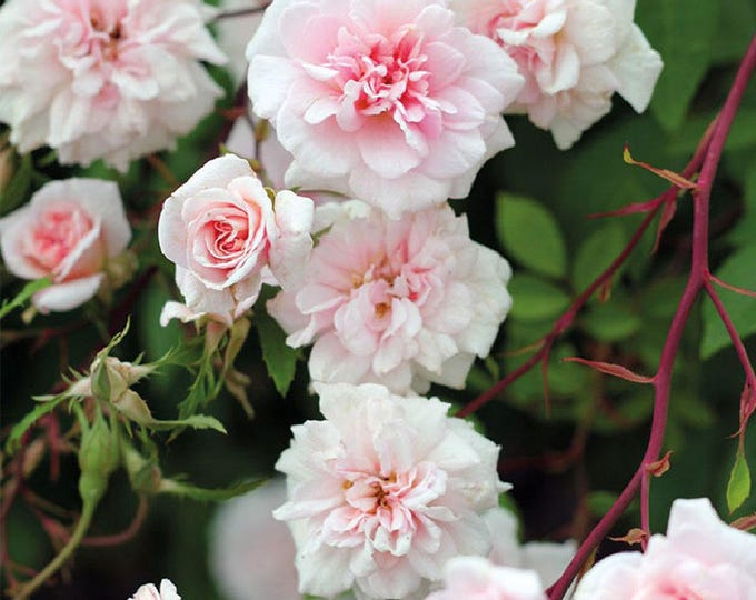 Cecile Brunner Climbing Rose Plant Potted | Fragrant Pink Double Flowers Easy To Grow - SPRING SHIPPING