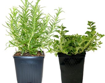 Rosemary Oregano Plants Herb Collection Grown Organic Contains 2 Live Herbs Potted - Great Gift for Gardeners Non-GMO