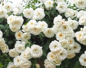 Climbing Iceberg Rose Plant Potted Floribunda White Flowers - Easy To Grow Climber Organic Grown STARTS SHIPPING in April