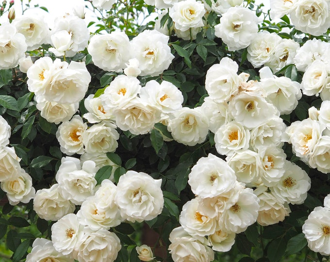 Climbing Iceberg Rose Plant Potted | Floribunda White Flowers - Easy To Grow Climber Organic Grown - SPRING SHIPPING