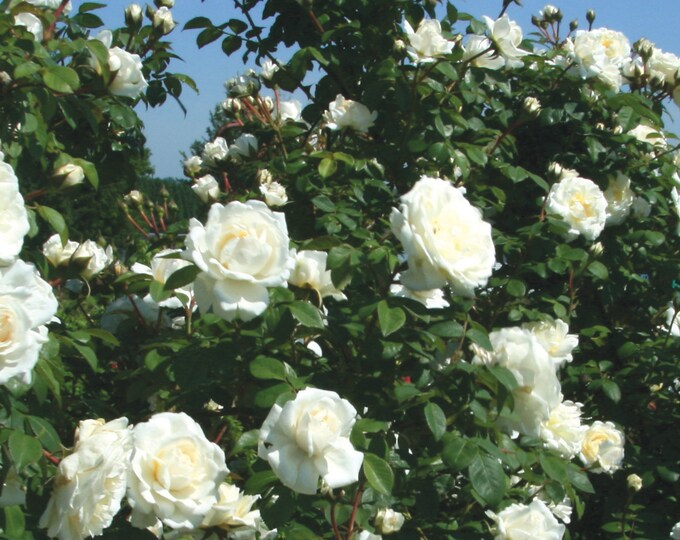 Cloud 10 Climbing Rose Plant Potted   Large White Flowers Own Root   - Own Root Non-GMO - SPRING SHIPPING