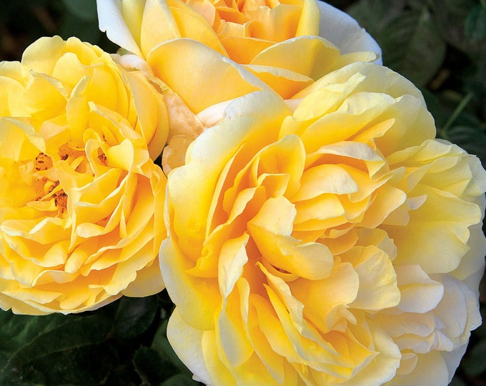 Michelangelo Live Rose Plant - Lemon Fragrance Yellow Flowers - Easy To Grow Grown Organic Shipped Potted Own Root