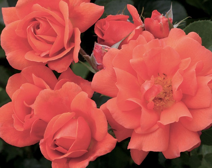 Above All ™ Rose Bush Fragrant Climbing Rose Grown Organic Potted  - Own Root Rose Plant Non-GMO - Improved Westerland Rose